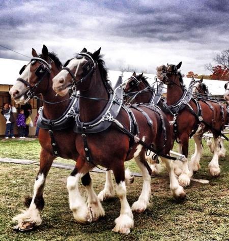 rockton fair horses.jpg